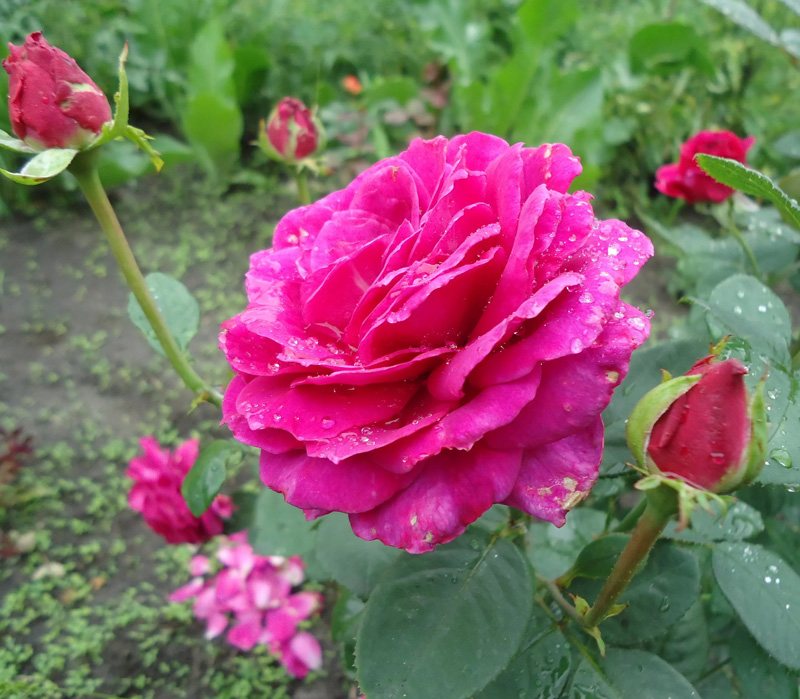 Роза Юрианда (Yurianda)