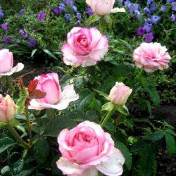 Роза чайно-гибридная Дольче Вита (Dolce Vita) саженцы