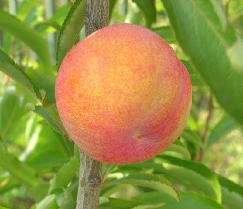 Шарафуга (гибрид абрикоса, сливы и персика - Bella Gold)