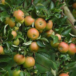 Яблоня Болотовское саженцы