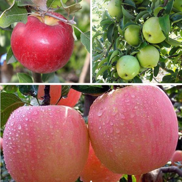 Яблоня многосортовая (трехсортовая) Карамельная-Семеренко-Розовый налив