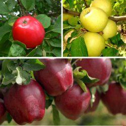 Яблоня многосортовая (трехсортовая) Малиновка-Голден-Ред Чиф