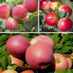 Яблоня многосортовая (трехсортовая) Мельба-Медуница-Слава победителям