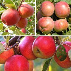 Яблоня многосортовая (трехсортовая) Пепин шафранный-Белорусское Сладкое-Конфетное