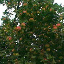 Яблоня Башкирская красавица саженцы