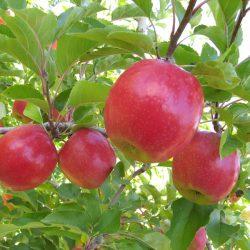Яблоня Беркутовское саженцы
