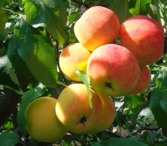Яблоня Малинка саженцы