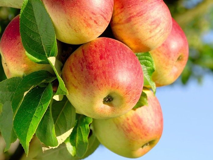 Яблоня Скала саженцы