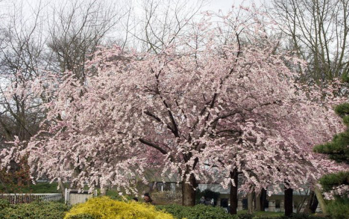 Абрикос Маньчжурский цветение