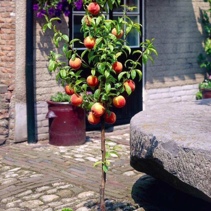 Персик колоновидный Штайнберг саженцы
