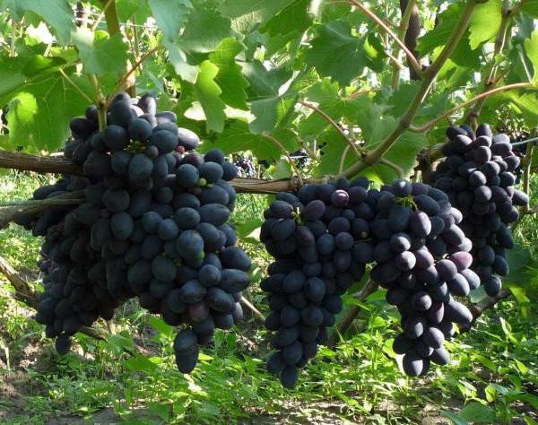 Виноград Кодрянка (Черная магия) купить