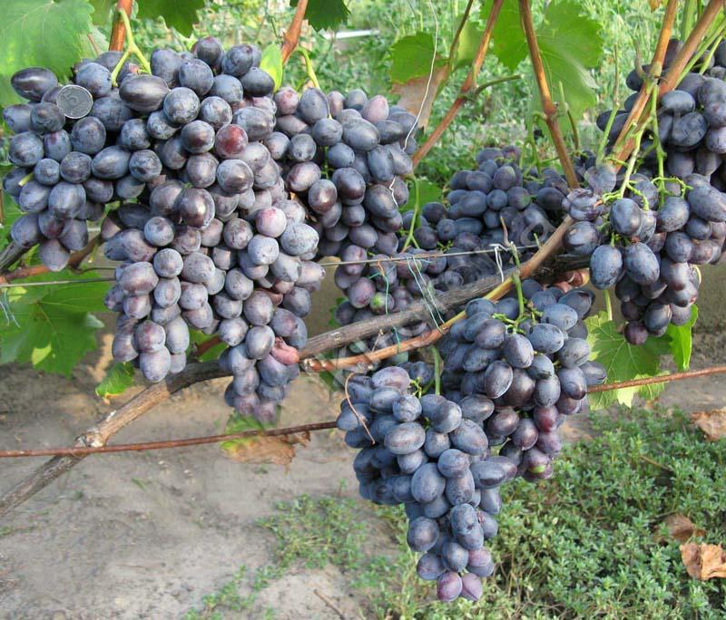 Виноград Махаон саженцы