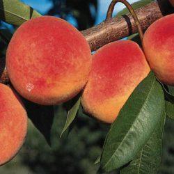 Персик Инка (гибрид персика и сливы)
