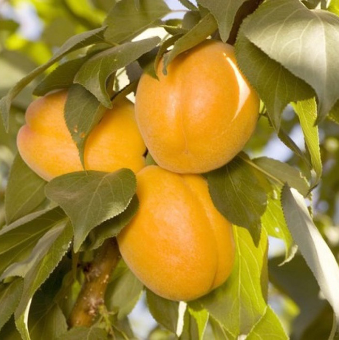 Плуот Валентин (гибрид абрикосово сливовый)