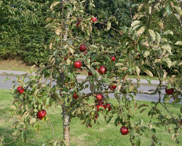 Яблоня Джонатан саженцы