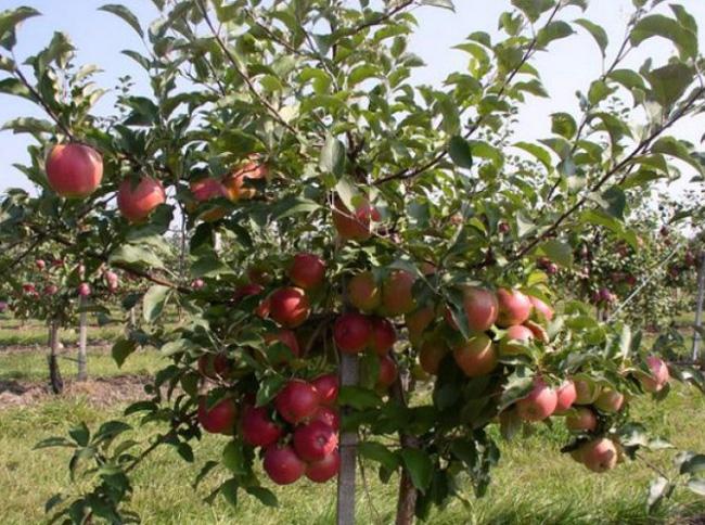 Яблоня Лигол саженцы