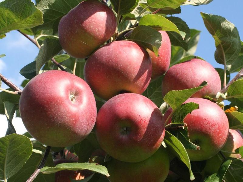Яблоня Лобо саженцы