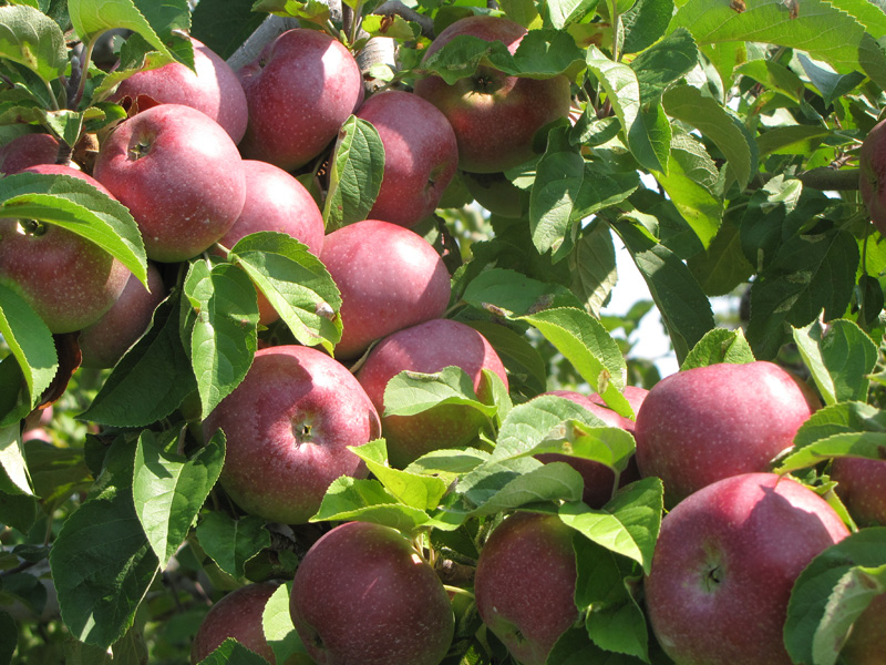 Яблоня Макинтош (Мекинтош) саженцы