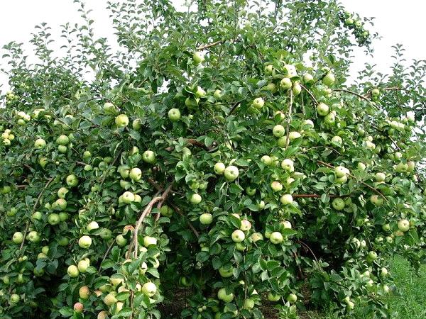 Яблоня Славянка саженцы