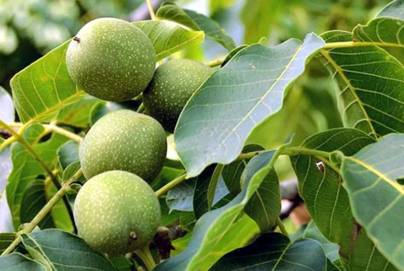 Грецкий орех Аврора