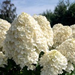 Гортензия метельчатая Саммер Сноу (Summer Snow) саженцы