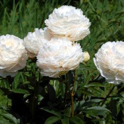 Пион травянистый Соланж (Solange) саженцы