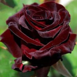 Роза Блэк баккара (Black baccara)