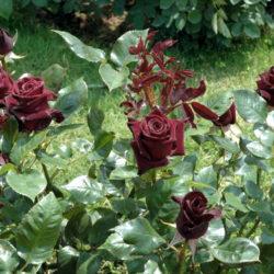 Роза Блэк баккара (Black baccara) саженцы