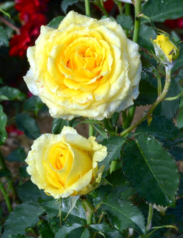 Роза Диана флорибунда