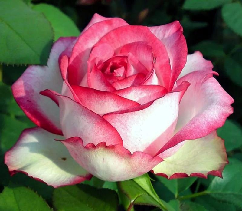 Роза Н-Джой (N-Joy) чайно-гибридная