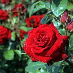 Роза Никколо Паганини (Niccolo Paganini) саженцы