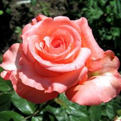Роза Нобилис чайно-гибридная
