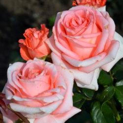 Роза Нобилис саженцы