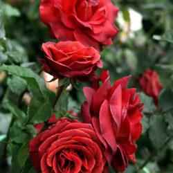 Роза Терракота (Terracotta) саженцы чайно-гибридная