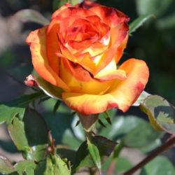 Роза Высший Свет (High Society, Высшее Общество) саженцы