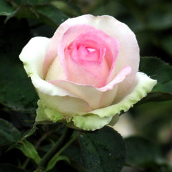 Роза Бидермейер Гарден (Biedermeier Garden) чайно-гибридная