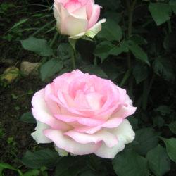 Роза Бидермейер Гарден (Biedermeier Garden) саженцы