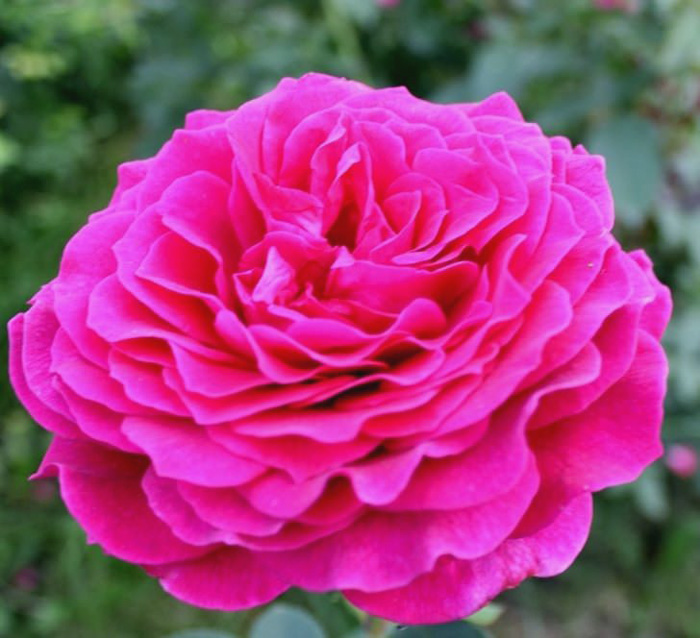 Роза Биг перпл (Big purple) чайно-гибридная