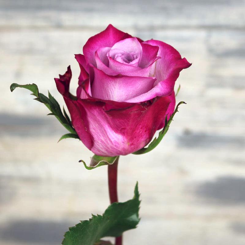 Роза Дип Перпл (Deep Purple) чайно-гибридная