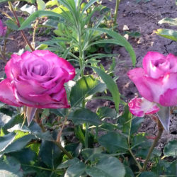 Роза Дип Перпл (Deep Purple) саженцы