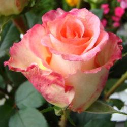 Роза Дуэт (Duett) чайно-гибридная
