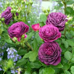 Роза Эбб Тайд (Ebb Tide или Purple Eden) саженцы