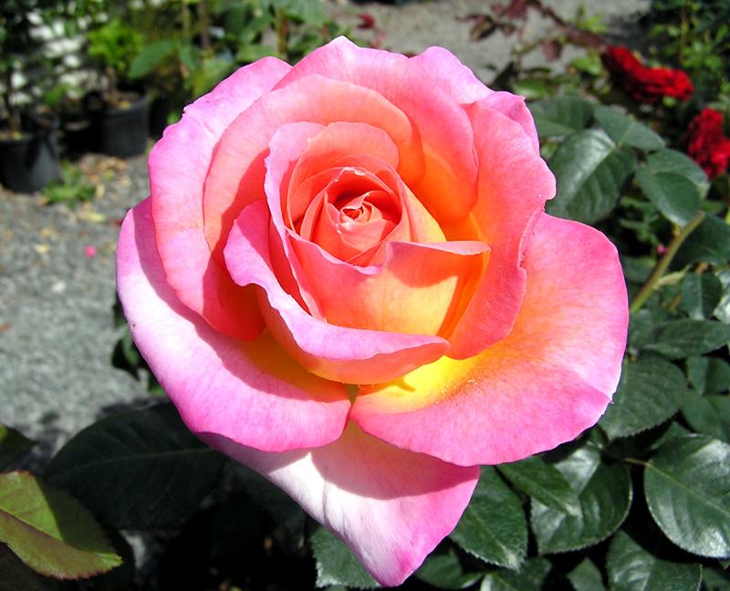 Роза Эль (Elle) Чайно-гибридная