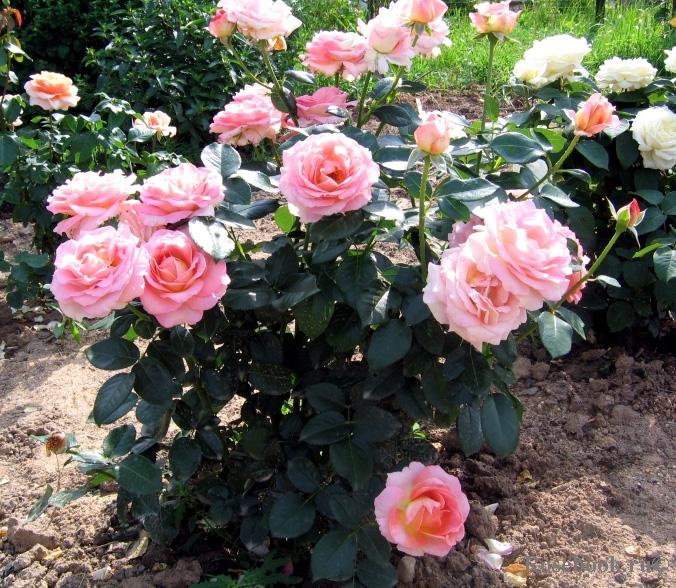 Роза Эль (Elle) саженцы