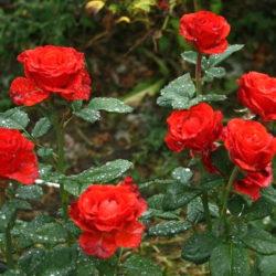 Роза Эль Торо (Эльтора, El Toro) саженцы