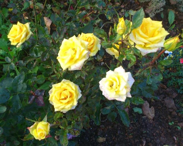 Роза Фриско (Frisco) саженцы