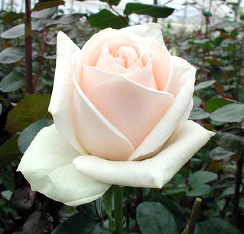 Роза Клер океан (Clear Ocean, Клер Оушен) чайно-гибридные