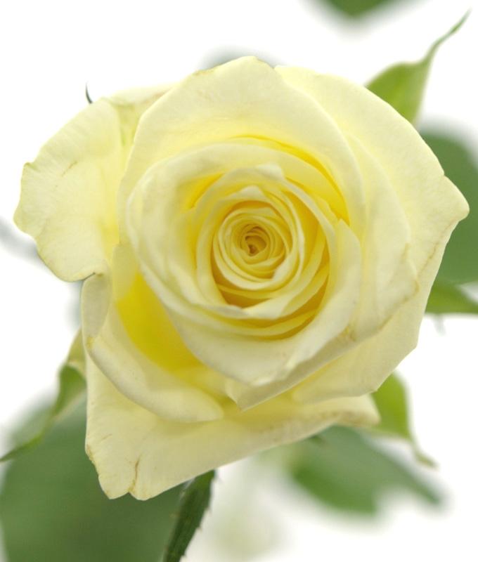 Роза Магади (Magadi) чайно-гибридная