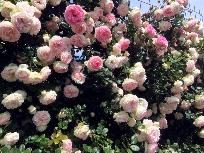 Роза Пьер де Ронсар (Pierre de Ronsard) купить