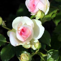 Роза Пьер де Ронсар (Pierre de Ronsard) плетистая